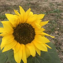 春の一枚 驚いた!冬なのにヒマワリが咲いている。 …