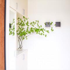 玄関/花のある暮らし/緑のある暮らし/ドウダンツツジ/令和元年フォト投稿キャンペーン/令和の一枚/... ドウダンツツジの季節がきました! お手入…