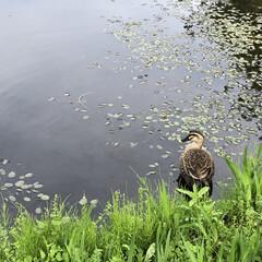 おでかけ/おでかけワンショット/カモ/鴨/池/泳ぐ 可愛いカモがいたので撮りました♪
