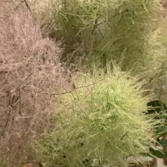 スモークツリー/花のある暮らし/暮らし スモークツリーのアップです。もふもふ感が…(2枚目)