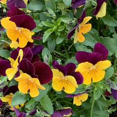 マーガレット/パンジー/花のある暮らし 職場の花壇の花たち。 いつも見逃しがちだ…