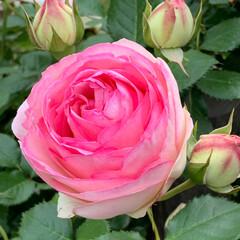 バラ園/海の中道海浜公園/バラまつり/バラ/LIMIAおでかけ部/おでかけ 薔薇、薔薇、薔薇。🌹🌸💐  インスタ映え…
