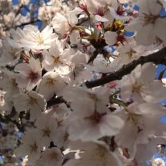 クレープ/曲げわっぱ弁当/桜 朝からPTA引き継ぎ、午後は授業参観。夜…(2枚目)