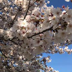 クレープ/曲げわっぱ弁当/桜 朝からPTA引き継ぎ、午後は授業参観。夜…(3枚目)
