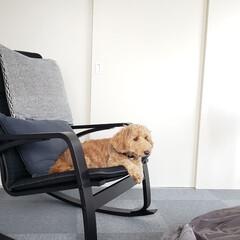 マルックス/ミックス犬/ポエング/ロッキングチェア/犬派/フォロー大歓迎/... ボクも、この新しいロッキングチェア気に入…
