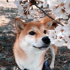 お写んぽ/桜🌸/猫派の旦那と犬派のわたし/LIMIAペット同好会/ペット/ペット仲間募集/... お散歩途中でキレイな桜🌸発見   くんく…