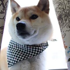 フォロー大歓迎/猫派の旦那と犬派のわたし/リミアペット同好会/柴犬/わんこ同好会/暮らし 今日も、暑いですね〜💦  お散歩⁉️  …