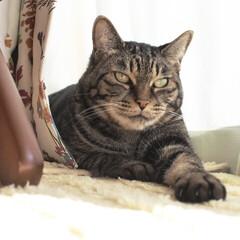 にゃんこ同好会/猫派の旦那と犬派のわたし/保護猫/リミアペット同好会/住まい/フォロー大歓迎 記念すべき100枚目は、まるさま🐈👑  …