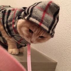 かわいい/オシャレキャット/猫服/茶トラ/LIMIAペット同好会/はじめてフォト投稿/... 洒落たコートでとんがりんこ❤️✨ 可愛い…