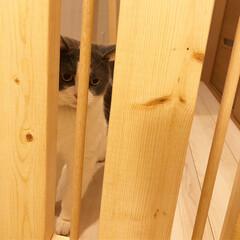 手作りドア/ペットゲート/令和元年フォト投稿キャンペーン/令和の一枚/LIMIAファンクラブ/DIY/... 我が家は二階がリビングなので、一階の玄関…(3枚目)