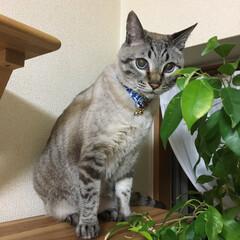 うちの子ベストショット/ねこの居る暮らし/関西ねこ部/シャムトラ/猫/にゃんこ同好会 3月14日がお誕生日だったミュウ これか…(1枚目)