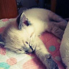 子猫/関西ねこ部/シャムトラ/寝顔に癒される/ねこの居る暮らし/おやすみショット/... ミュウのちっちゃい頃 Happybirt…(1枚目)