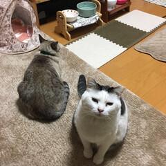 関西ねこ部/保護猫/ねこの居る暮らし/シャムトラ/うちの子自慢/ウチの子ベストショット/... ミュウくん遊んでくれにゃいですにゃ