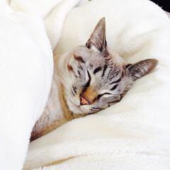 関西ねこ部/シャムトラ/うちの子自慢/寝顔に癒される/ねこの居る暮らし/おやすみショット/... ぬくぬくでおやすみにゃ(1枚目)