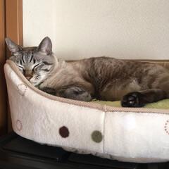 ねこの居る暮らし/寝顔に癒される/シャムトラ/関西ねこ部/おやすみショット/猫 気持ち良さそうやね😊(1枚目)