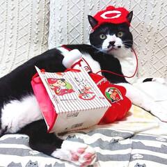 カープ猫/カープ/ぽっちゃり猫/デブ猫/ハチワレ/LIMIAペット同好会/... でっかい!たいちゃん😸 カープを 今年も…