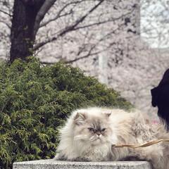 お花見/うちの子ベストショット/猫のいる暮らし/自慢のペット/ねこのいる生活/春のフォト投稿キャンペーン/... ポコとお花見🌸