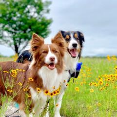 モカとアッシュ/犬/わんこ/愛犬/ボーダーコリー/お散歩/... 綺麗なお花が🌼咲いてたから 寄り道して📸…