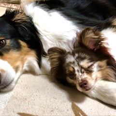 可愛い/ハーフ犬/チワポメ/おやすみ/寝る/添い寝/... 2匹で添い寝中😴💤(2枚目)