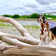 お散歩/わんこ/犬/愛犬/ボーダーコリー/フォロー大歓迎/... 久しぶりに川沿いをお散歩  凄く大っきい…