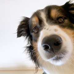 監視犬/監視員/愛犬/わんこ/犬/ボーダーコリー/... 朝からゴロゴロしてたら 上から監視員が見…