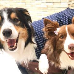 癒し/可愛い/大好き/中型犬/愛犬/わんこ/... 緊張がほぐれたのか笑顔な2匹🐶🐶❤️  …