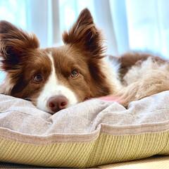 犬用ベッド/犬/わんこ/愛犬/クッション/ボーダーコリー/... ニトリで、い草小判クッションを購入❤️ …
