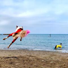 ボーダーコリー/砂浜/海/わんこ/いぬ ジャンプ大好き女子と  ジャンプ出…