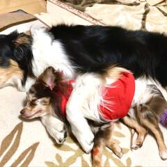 可愛い/ハーフ犬/チワポメ/おやすみ/寝る/添い寝/... 2匹で添い寝中😴💤