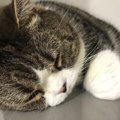 スコテッシュフォールド/LIMIAペット同好会/ペット/猫/おやすみショット かなり近づいて写真を撮っても、ビクともせ…