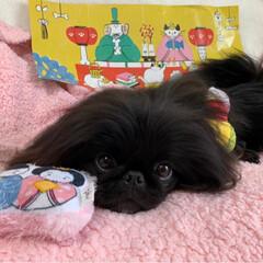 ひな祭りのおもちゃ/ペキニーズブラック/Pekingese/かわいい犬/ミルキーっ子/LIMIAペット同好会/... ひなまつり🎎🍡🌸の おもちゃが届いたの🌟…