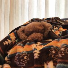 寝顔/トイプードルの女の子/トイプードル/トイプー/LIMIAペット同好会/フォロー大歓迎/... 毛布に同化。。。
