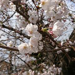 さくら 玉串川の桜🌸 山本球場方面へ買い物へ行っ…
