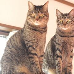 トラ猫/キジトラ/颯/輝/LIMIAペット同好会/ペット/... 右  三男 輝(てる) 😺  賢い 左 …(1枚目)