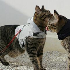 おでかけ猫/颯/輝/トラ猫/キジトラ/猫 お散歩でも仲良し🐈🐈💕(3枚目)