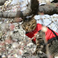 梅/トラ猫/キジトラ/颯/LIMIAペット同好会/フォロー大歓迎/... 梅、きれいだにゃぁ🌸(4枚目)