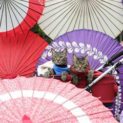 嵐山/京都/颯/輝/トラ猫/キジトラ/... 京都を散策☂️ (1枚目)