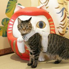 おでかけ猫/猫猫寺/颯/トラ猫/キジトラ/猫 颯ちゃんはお客様の前でものんびりです☺️
