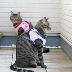 颯/輝/トラ猫/キジトラ/猫/フォロー大歓迎/... ハーネスをお揃いで作ってみました😊✨(4枚目)
