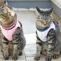 颯/輝/トラ猫/キジトラ/猫/フォロー大歓迎/... ハーネスをお揃いで作ってみました😊✨(1枚目)