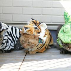 颯/輝/福ちゃん/トラ猫/キジトラ/茶トラ/... 可愛い動物園 虎福🐅 シマウマ輝🦓 ワニ…(1枚目)