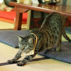 輝/トラ猫/キジトラ/猫/フォロー大歓迎/にゃんこ同好会/... 猫猫寺で修行(4枚目)