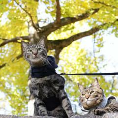 おでかけ猫/颯/輝/トラ猫/キジトラ/猫 紅葉🍁