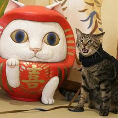 猫猫寺/おでかけ猫/輝/トラ猫/キジトラ/猫 だるまさんと輝ちゃん(2枚目)