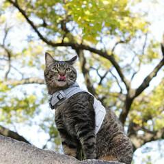 おでかけ猫/颯/輝/トラ猫/キジトラ/猫 紅葉🍁(3枚目)