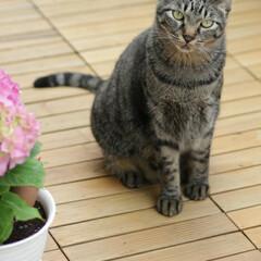 輝/トラ猫/キジトラ/猫 すていほーむ、 暇なのでお花の植え替え💠(1枚目)
