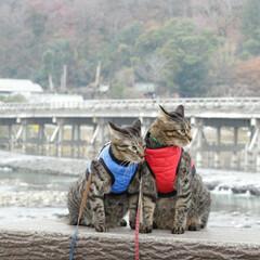 おでかけ猫/颯/輝/トラ猫/キジトラ/猫/... 京都散策(3枚目)