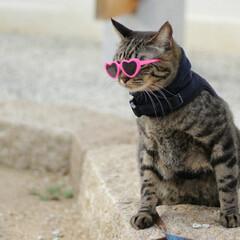 おでかけ猫/輝/トラ猫/キジトラ/猫 トレンド🕶️