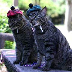 おでかけ猫/颯/輝/トラ猫/キジトラ/猫 秋の装い🍂