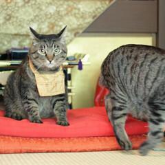 猫猫寺/颯/輝/トラ猫/キジトラ/猫/... 猫猫寺で修行中(4枚目)